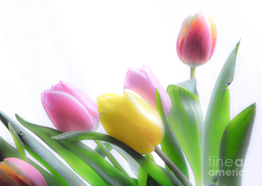 Tulips Photograph - Colourful Tulips That Are Digitally Softened by Kerstin Ivarsson