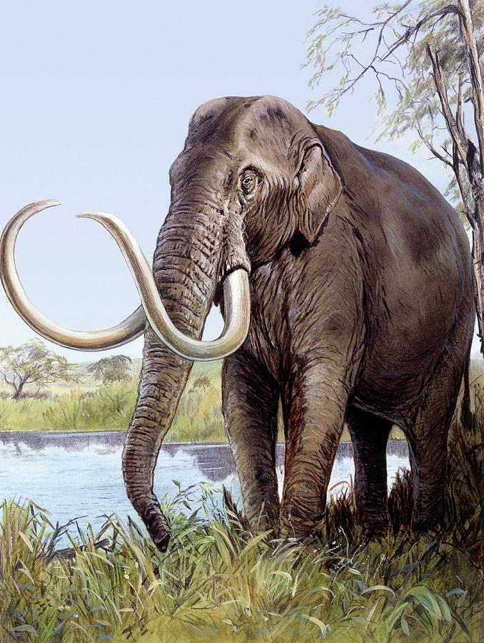 Columbian Mammoth Photograph - Columbian Mammoth by Michael Long/science Photo Library