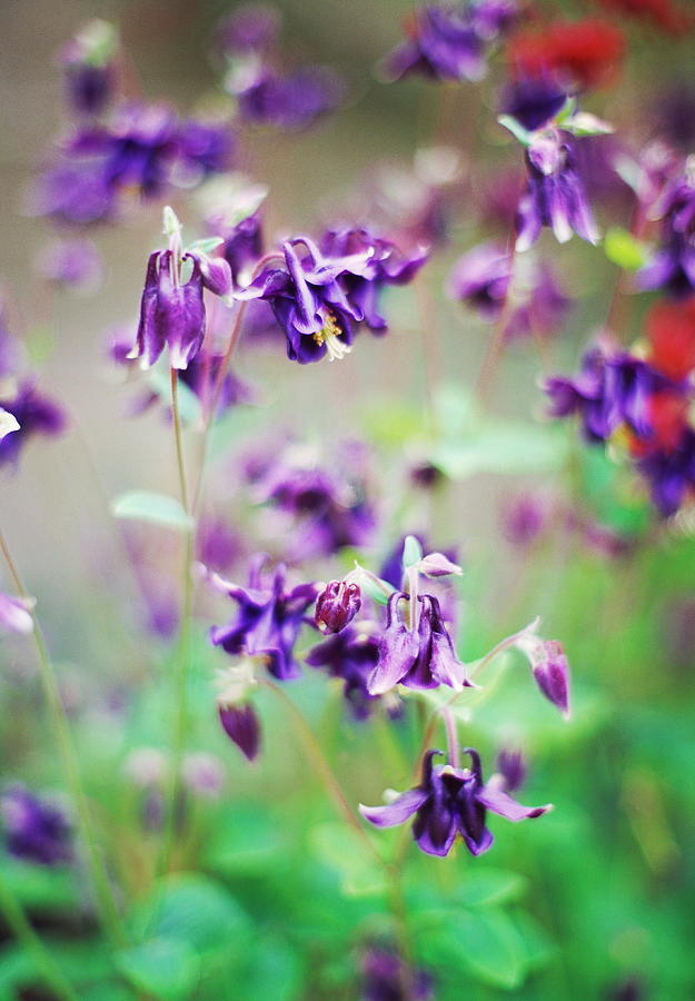 Columbine Photograph - Columbine (aquilegia Atrata) by Rachel Warne/science Photo Library