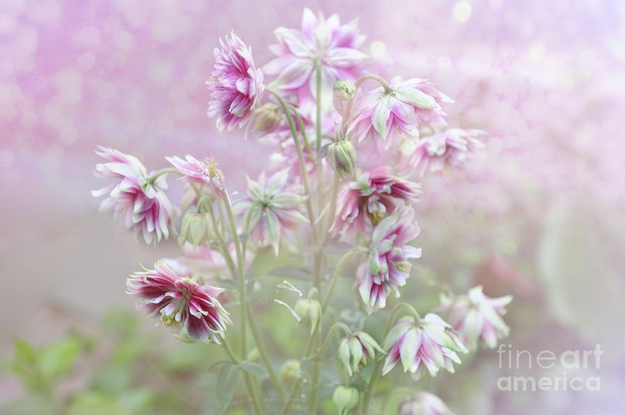 Columbine Photograph - Columbine Beauty by Elaine Manley