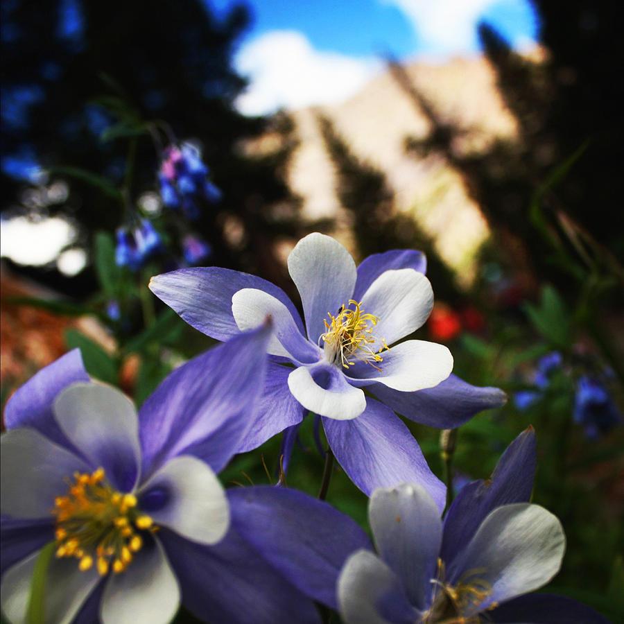 Columbine flowers on a summer hike in colorado photograph by adam columbine photograph columbine flowers on a summer hike in colorado by adam brummett izmirmasajfo