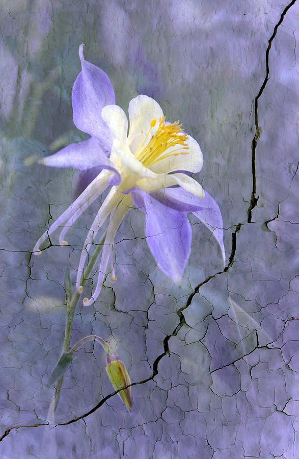 Plant Photograph - Columbine On Cracked Wall by James Steele