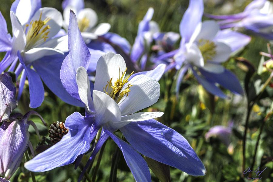 Columbines Photograph - Columbine Wildflowers by Aaron Spong