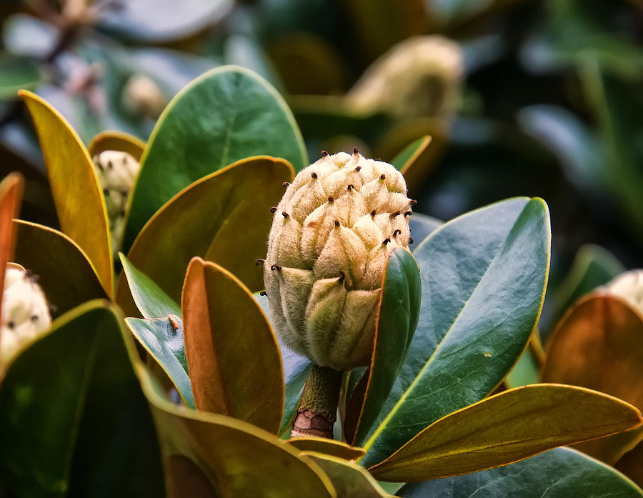 Magnolia Digital Art - columnar Southern magnolia by Chris Flees