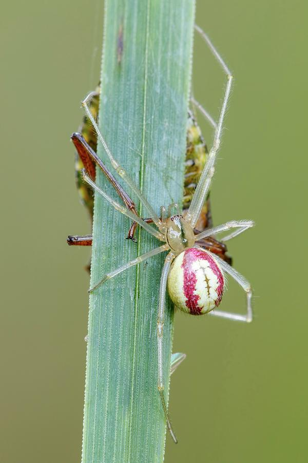 Arachnid Photograph - Comb Footed Spider by Heath Mcdonald