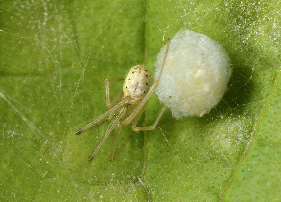 Arachnid Photograph - Comb-footed Spider by Nigel Downer