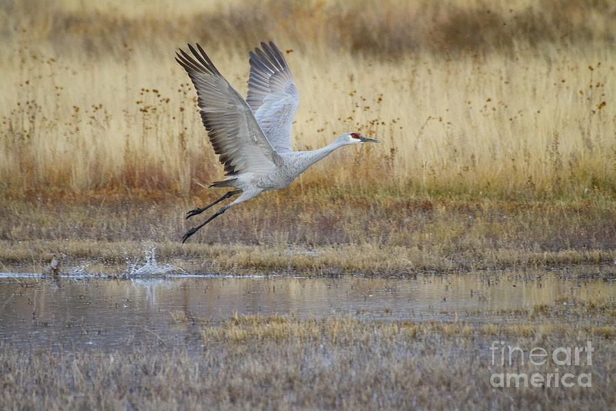 Crane Photograph - Come Fly With Me by Ruth Jolly