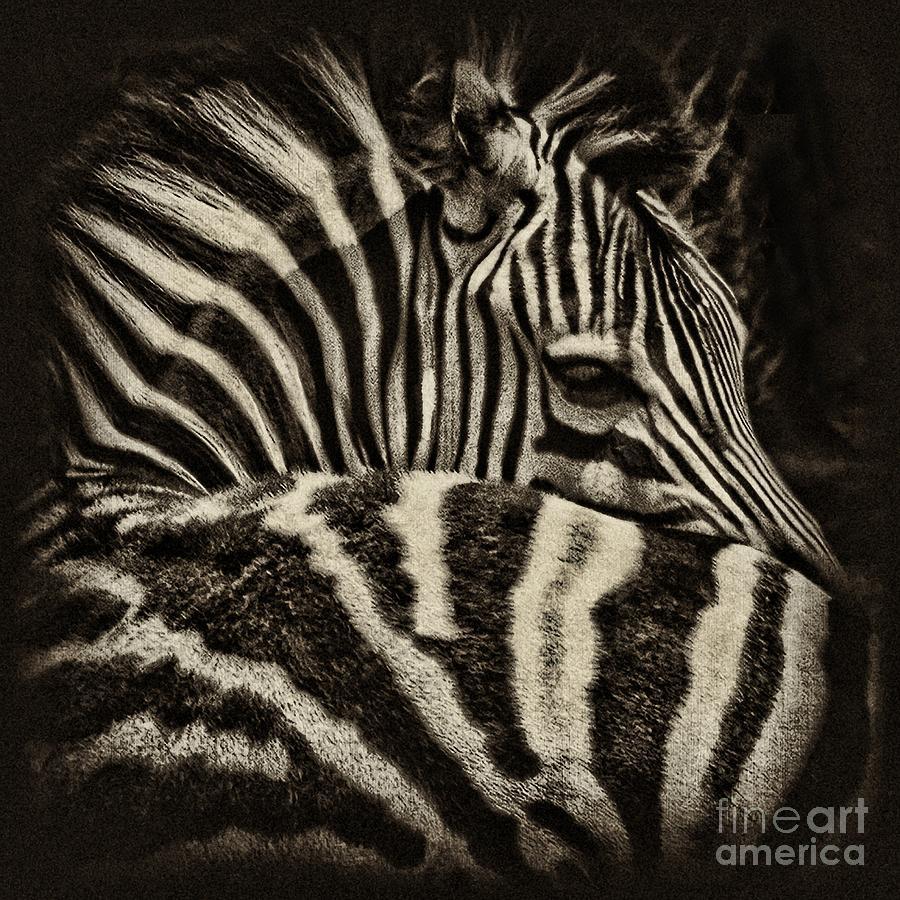 Zebra Photograph - Comfort by Andrew Paranavitana