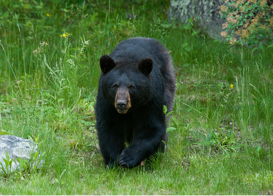 Bears Photograph - Coming At Ya by Brenda Jacobs