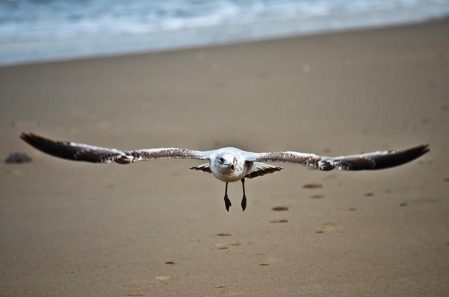 Birds Photograph - Coming In For A Landing  by Sabrina  Hall