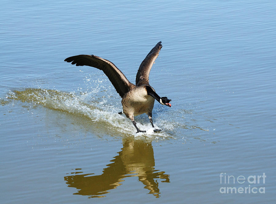 Goose Photograph - Coming In For A Landing by Vivian Christopher
