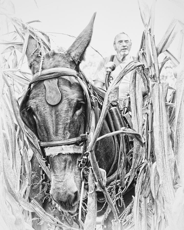 Mule Photograph - Coming Through the Corn by Ron  McGinnis