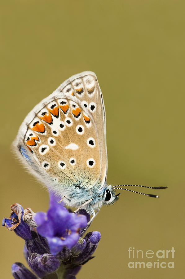 Angustifolia Photograph - Common Blue by Anne Gilbert