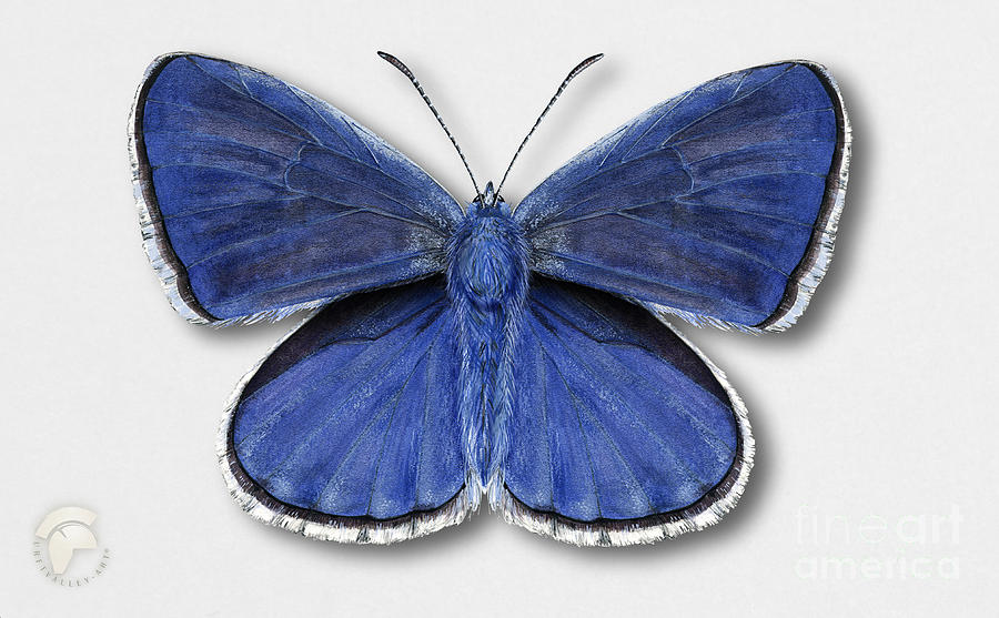 Common Blue Butterfly - Polyommatus Icarus Butterfly Naturalistic Painting - Nettersheim Eifel Painting