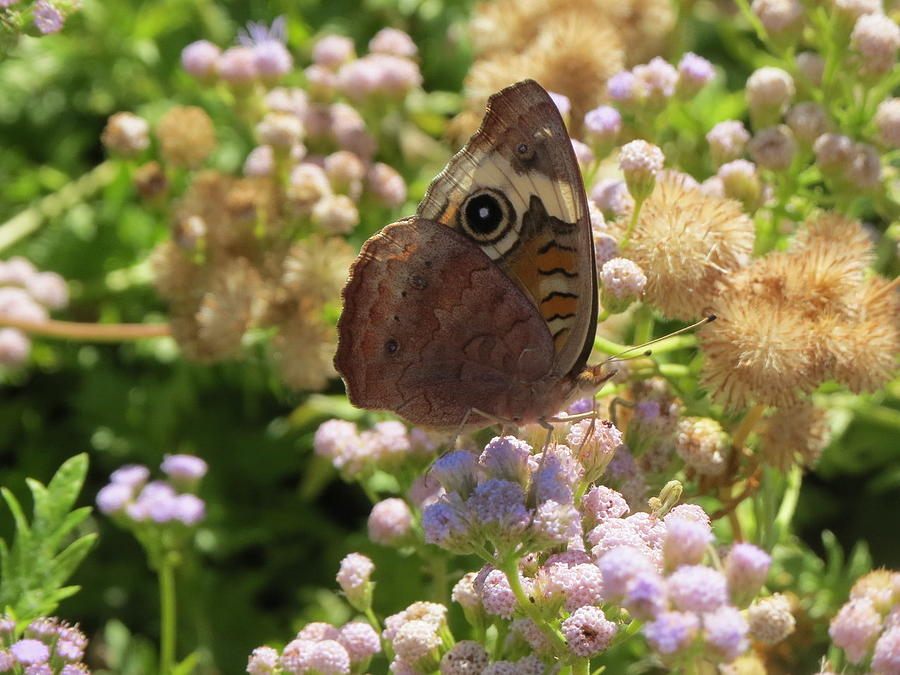 Common Buckeye Butterfly by Cindy Clements