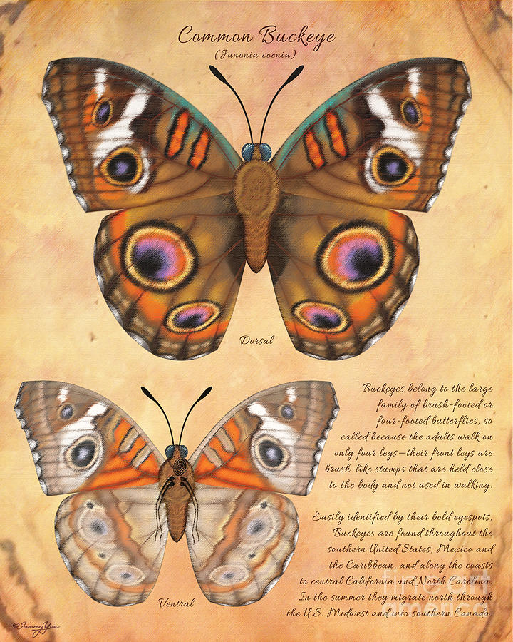 Butterfly Painting - Common Buckeye Butterfly  by Tammy Yee