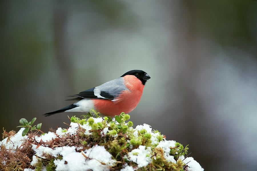 Pyrrhula Pyrrhula Photograph - Common Bullfinch by Dr P. Marazzi/science Photo Library