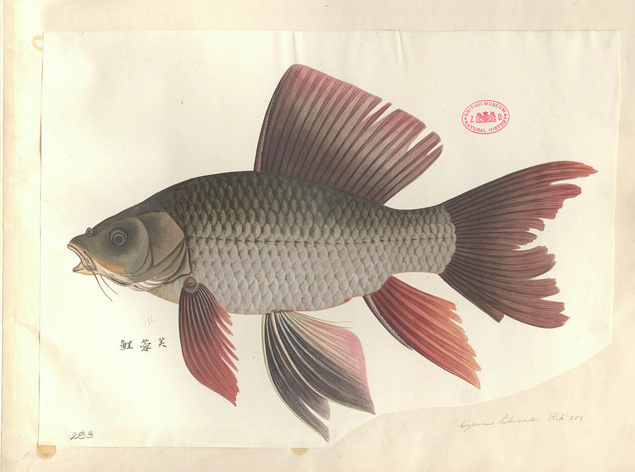 1800s Photograph - Common Carp by Natural History Museum, London