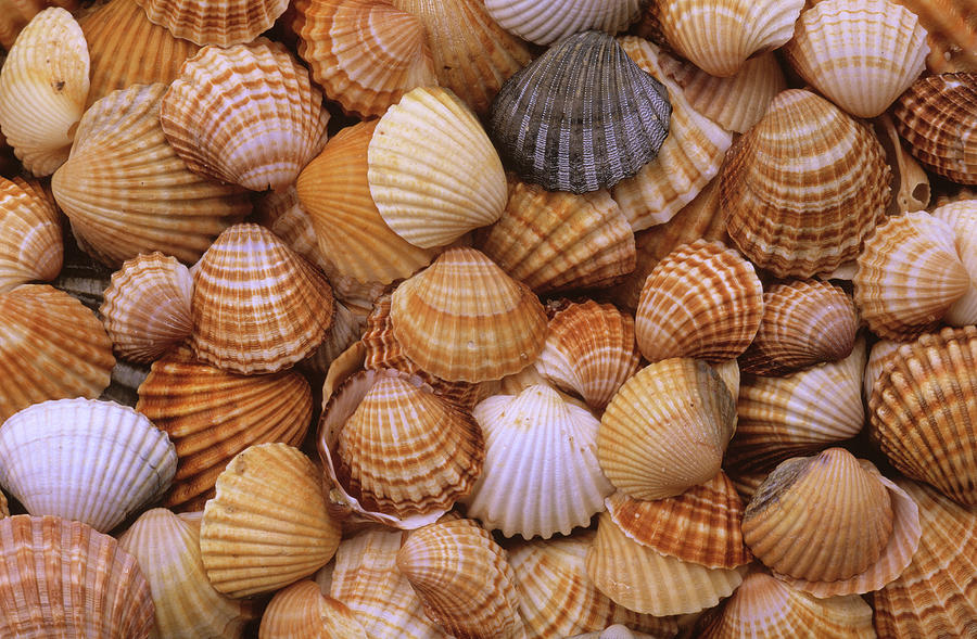 Common Cockle Shells Photograph by Duncan Usher