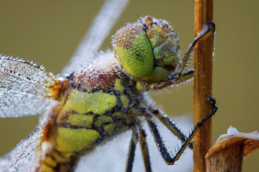Anisoptera Photograph - Common Darter Dragonfly by Heath Mcdonald