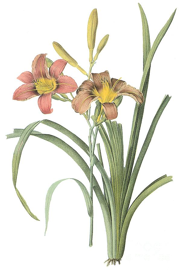 Flower Drawing - Common Daylily by Spencer McKain