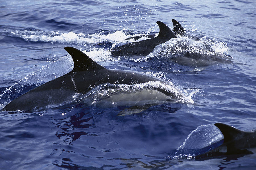 Common Dolphin Pod Swimming At Surface Photograph by Flip Nicklin