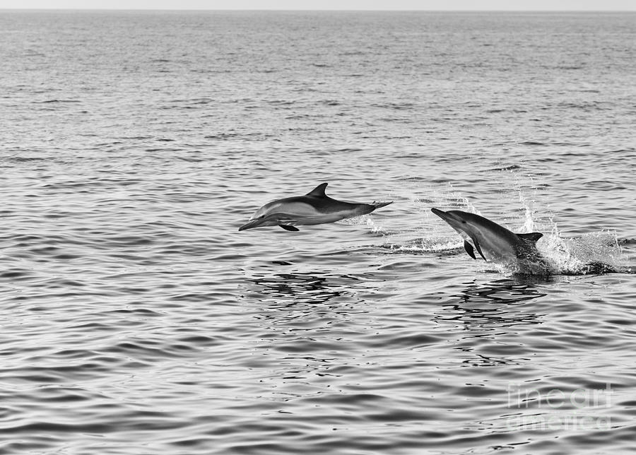 Common Dolphin Photograph - Common Dolphins Leaping. by Jamie Pham