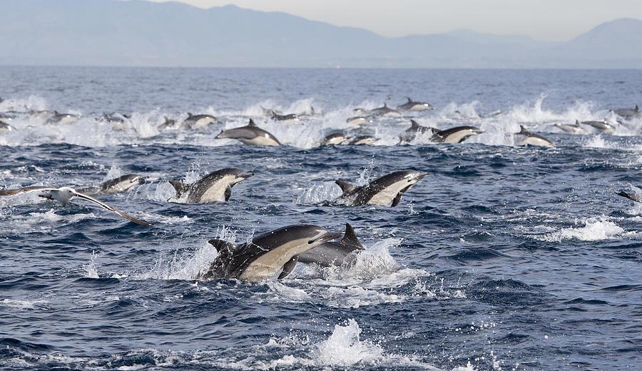 Common Dolphins Surfacing San Diego Photograph by Richard Herrmann