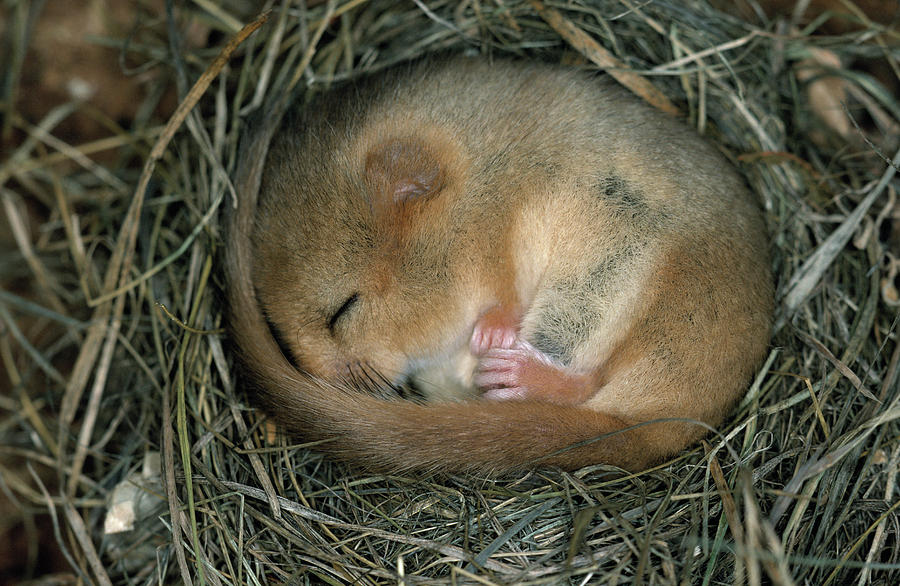 Common Dormouse Sleeping Photograph By Dietmar Nill