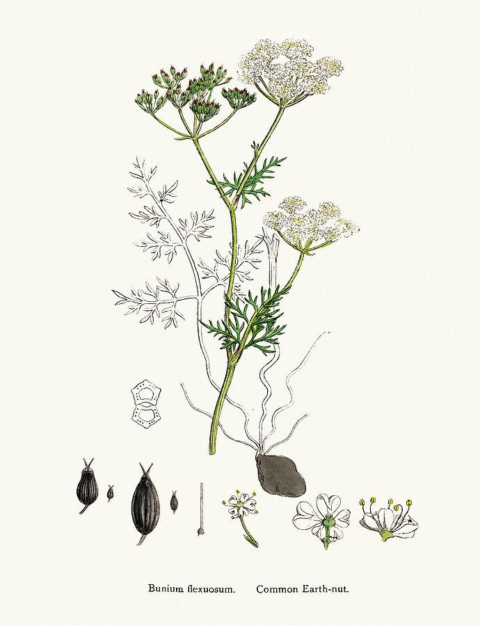 Common Earth Nut Plant Scientific Digital Art by Mashuk