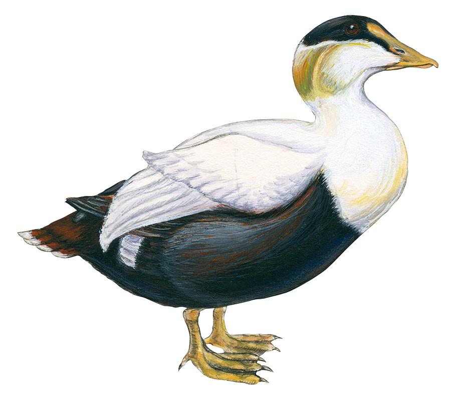 Bird Drawing - Common Eider by Anonymous