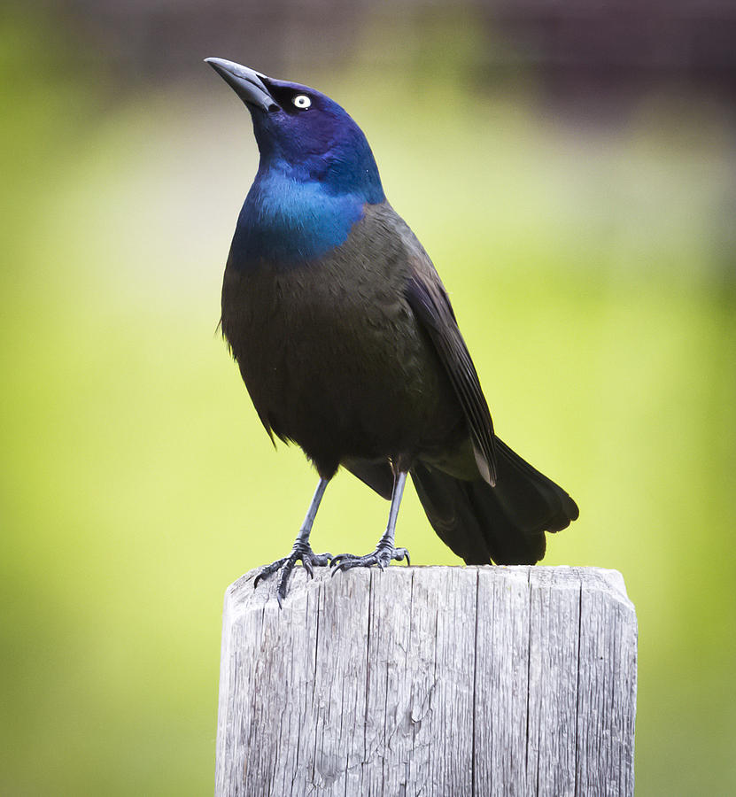 Canon Photograph - Common Grackle  by Ricky L Jones