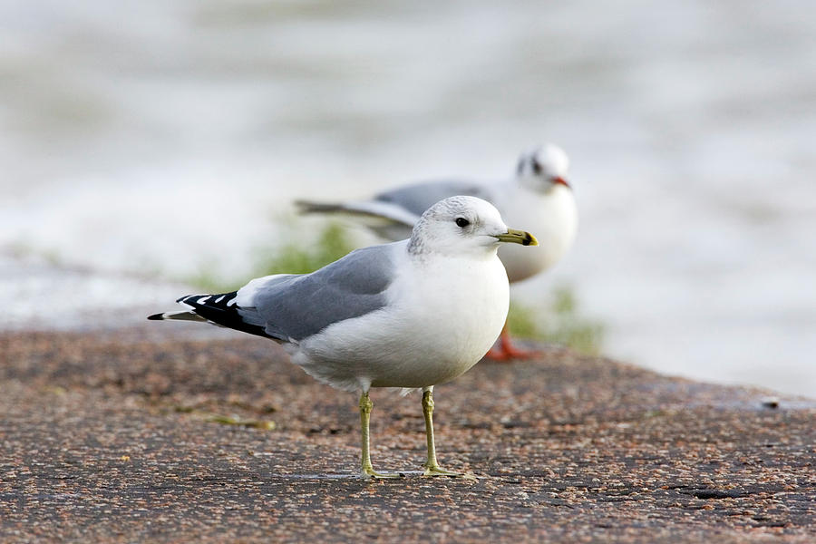 Common Gull Photograph - Common Gull And Black-headed Gull by John Devries/science Photo Library