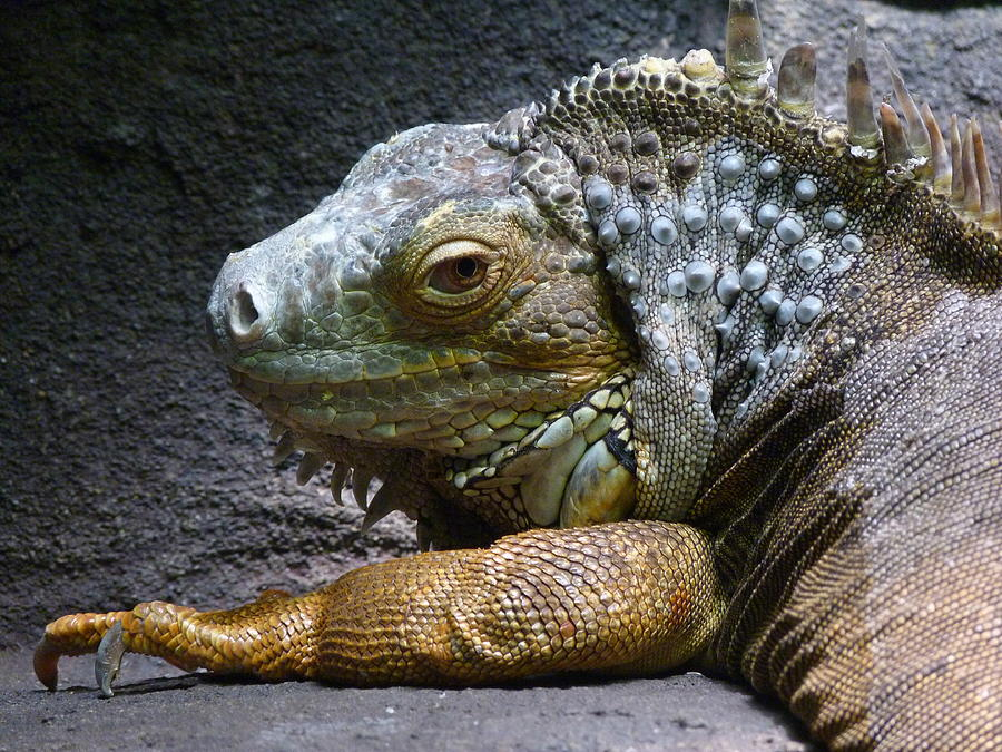 Common Iguana Photograph - Common Iguana Relaxing by Margaret Saheed