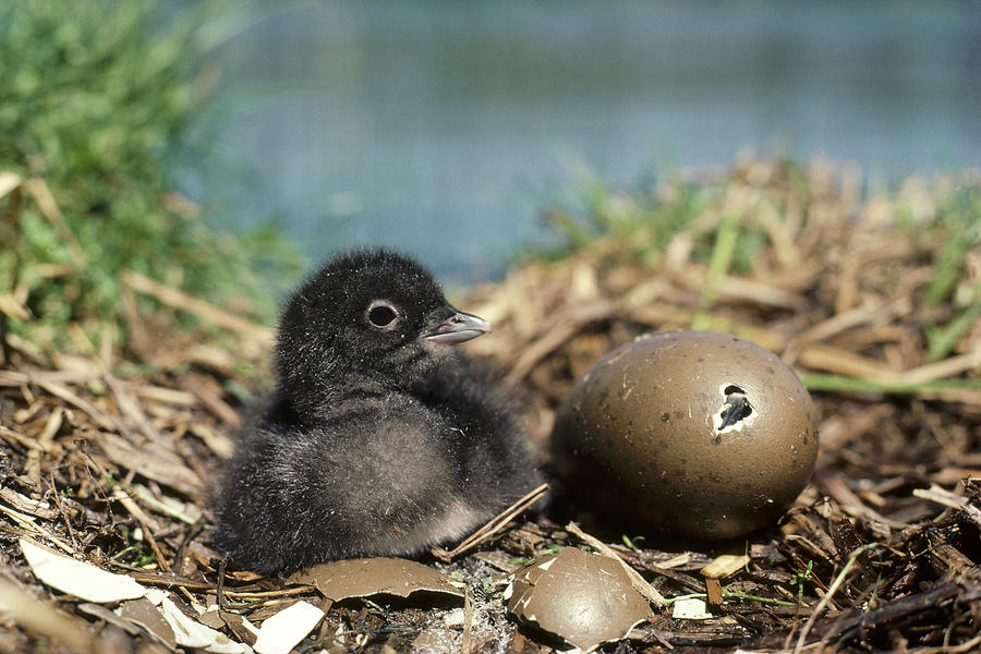 Common Loon Chick With Egg Wyoming Photograph by Michael Quinton