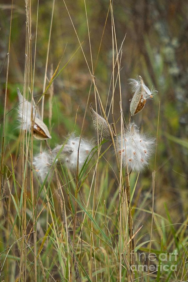 Asclepiadaceae Photograph - Common Milkweed by Linda Freshwaters Arndt