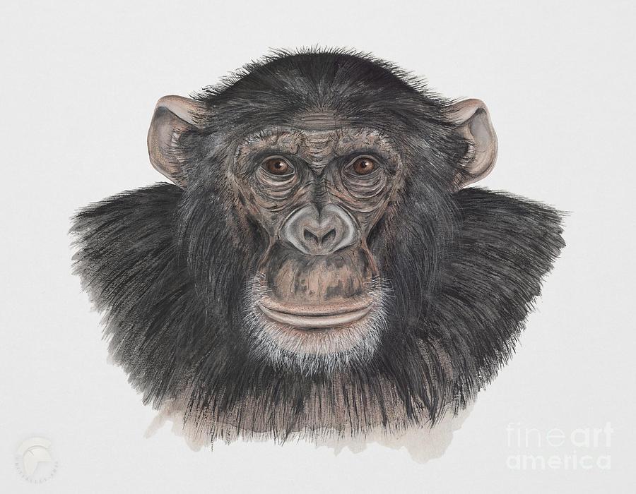 Common Or Robust Chimpanzee - Pan Troglodytes - Chimpanze - Chimpance - Scimpanze - Simpansi - Ape Painting