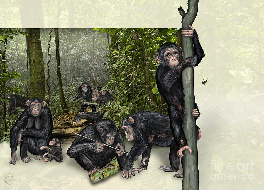 Robust Chimpanzees Pan Troglodytes - Zoo Interpretive Panel Painting