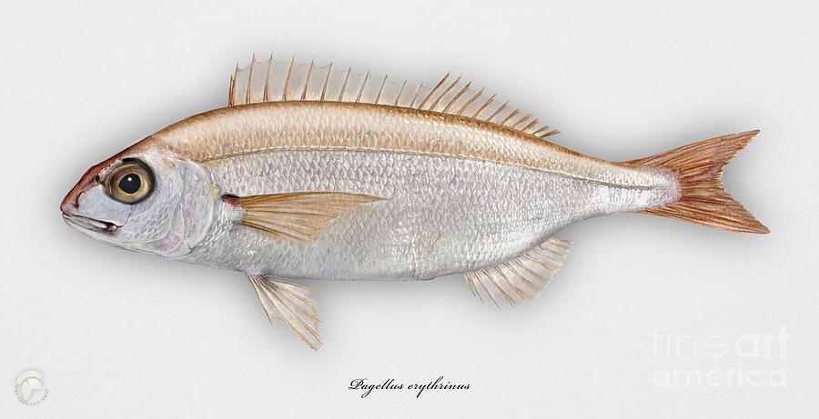 Common Pandora Pagellus Erythrinus - Pageot Commun - Breca - Bica - Punapagelli - Seafood Art Painting