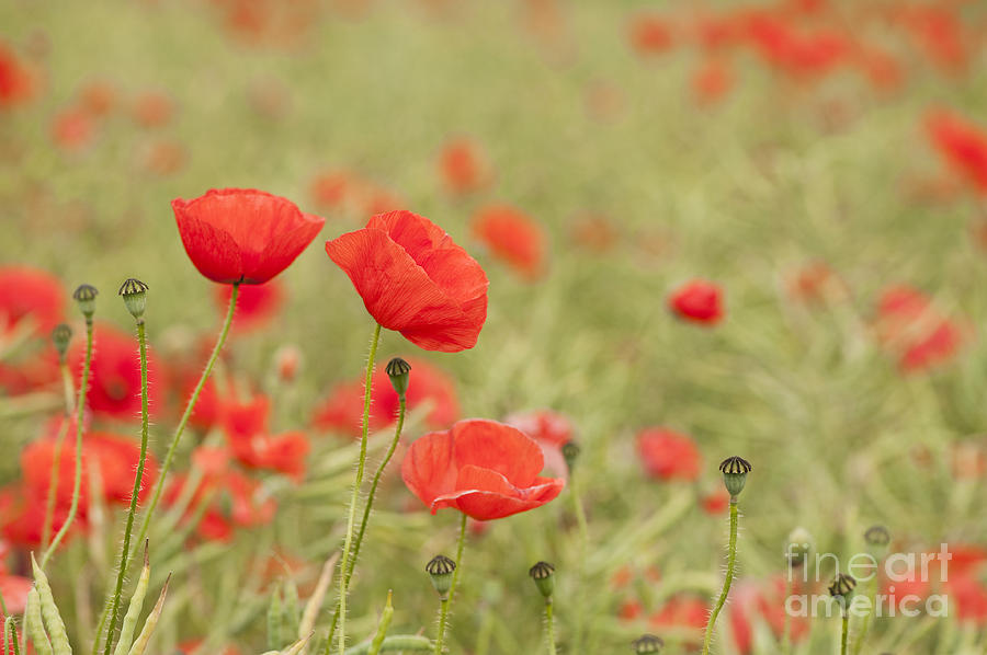 Anne Photograph - Common Poppies by Anne Gilbert