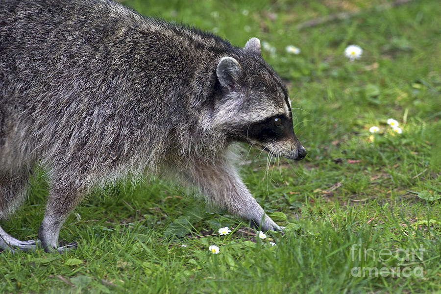 Common Raccoon Photograph - Common Raccoon by Sharon Talson