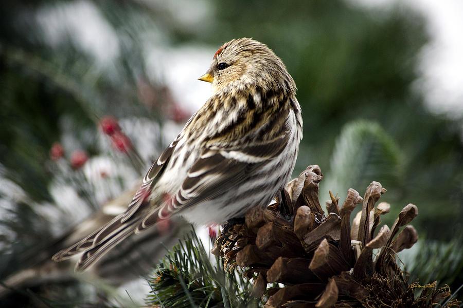 Winter Photograph - Common Redpoll by Christina Rollo