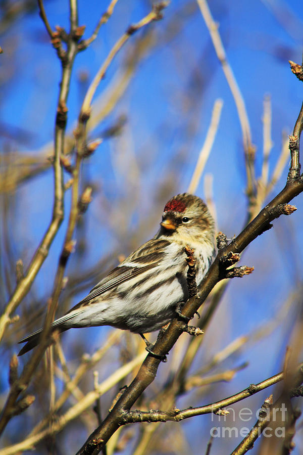 Flock Photograph - Common Redpoll Female by Alyce Taylor