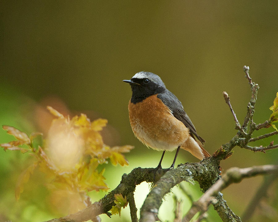 Turdidae Photograph - Common Redstart by Paul Scoullar
