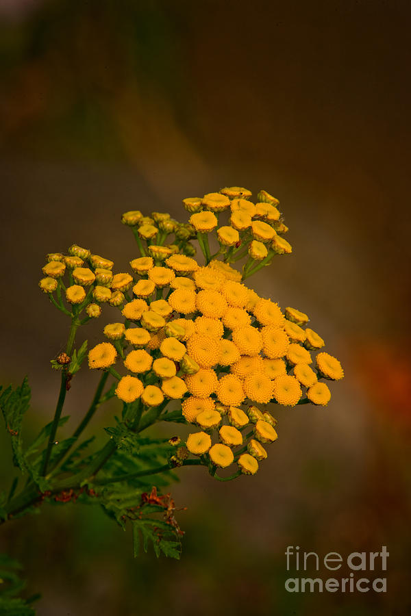 Common Tansy by Michael Cummings