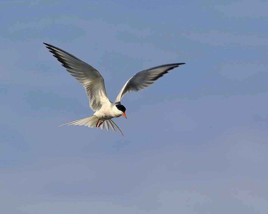 Common Tern Photograph - Common Tern Hovering by Tony Beck