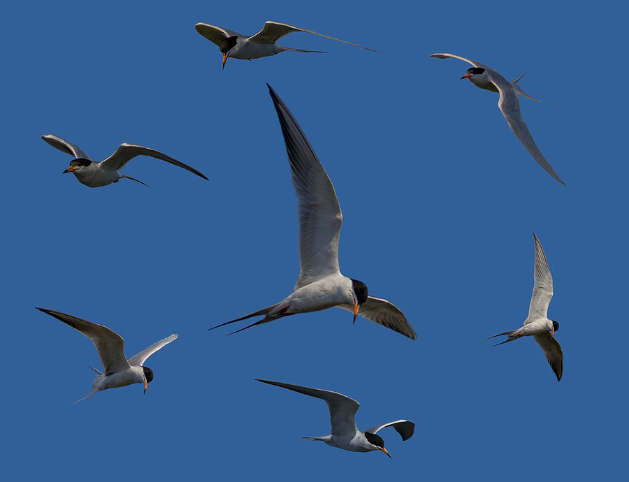 Tern Photograph - Common Terns Collage by Ernie Echols