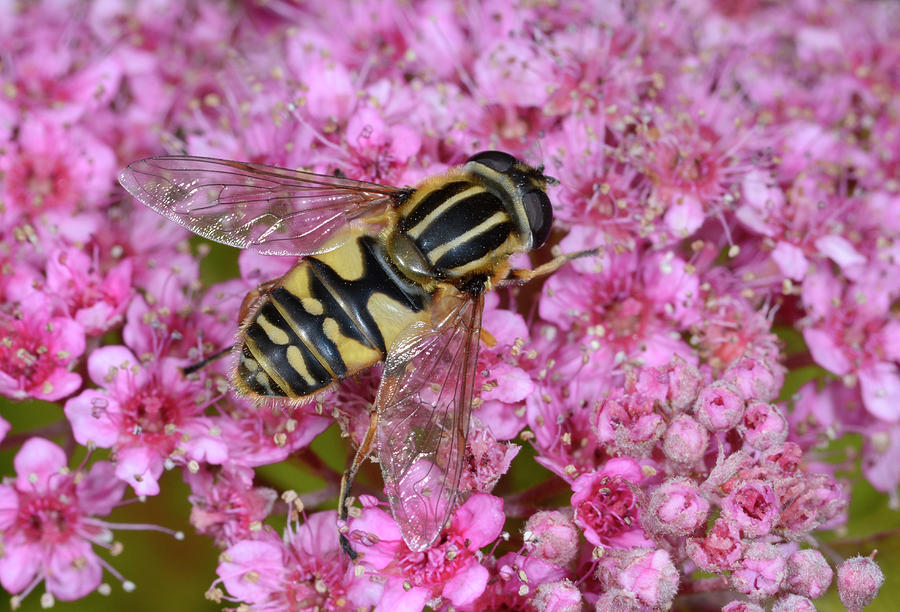Animal Photograph - Common Tiger Hoverfly by Nigel Downer/science Photo Library