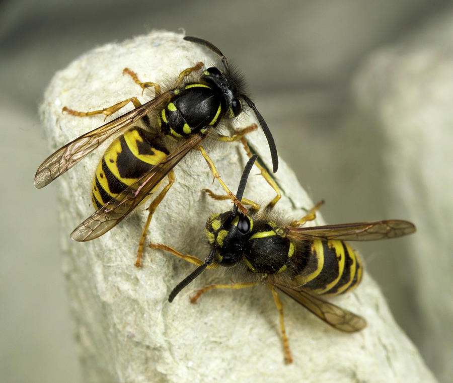 Insect Photograph - Common Wasps by Nigel Downer