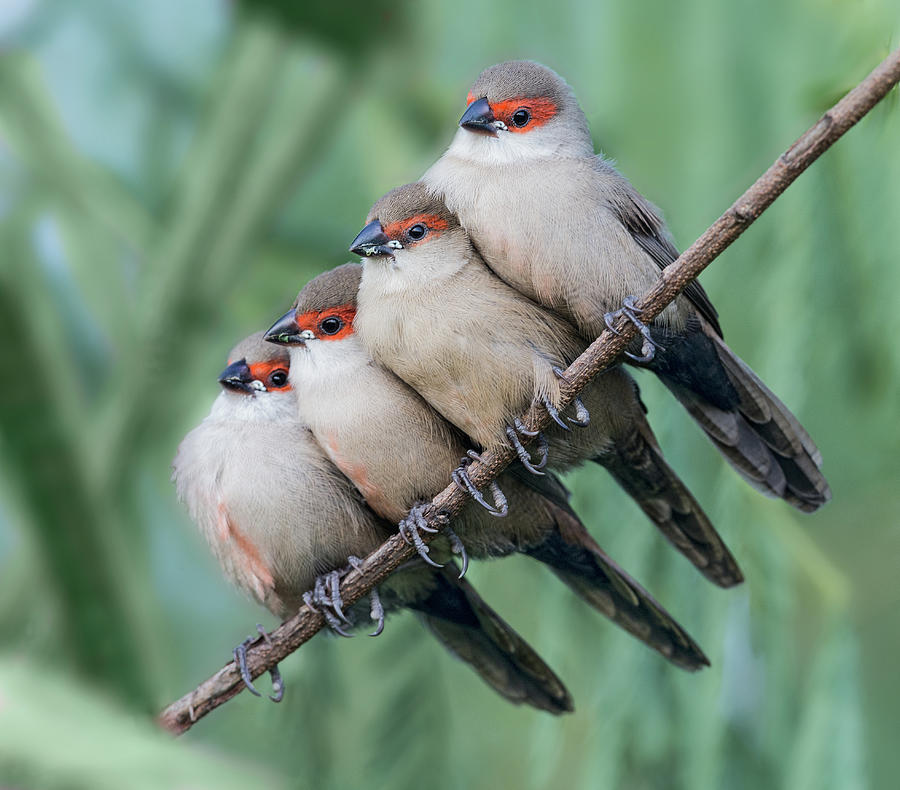Common Photograph - Common Waxbill by Cheng Chang